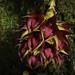 Bulbophyllum decurviscapum J.J.Sm., Bull. Jard. Bot. Buitenzorg, sér. 3, 12: 139 (1932)