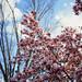 Magnolia blooms_000464130003