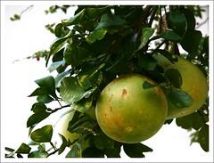 Anglų lietuvių žodynas. Žodis pomelo reiškia greipfrutas lietuviškai.