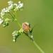 Dolycoris baccarum - Punaise des baies