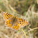 butterfly, Mount Etna, Catania, Sicily, 意大利