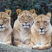 Three lionesses looking at me