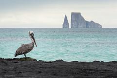 Pelican in Front of Kicker Rock