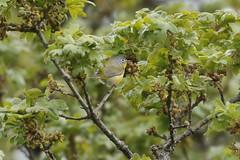 Nashville Warbler - Mt Tolmie, Victoria BC