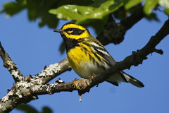 Townsend's Warbler - Mt Tolmie, Victoria BC