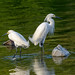 Snowy egrets at sunset