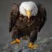 Zeearend / Bald eagle / Pygarque à tête blanche