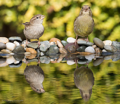 Photo of House Sparrow and Greenfinch