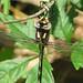 Arrowhead spiketail - foty!  (Cordulegaster obliqua)