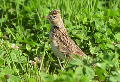 Photo of Skylark