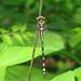 Arrowhead spiketail, immature male - full dorsal view