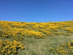 Photo of 2020-04 Beautiful Yellow Gorse, Stenbury Down