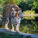 Tiger .. -