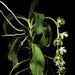 Phalaenopsis hygrochila J.M.H.Shaw, Orchid Rev. 123(1309, Suppl.): 23 (2015)