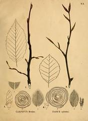 Anglų lietuvių žodynas. Žodis carpinus betulus reiškia <li>carpinus betulus</li> lietuviškai.