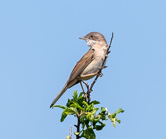 Rainham 21.05.20 Whitethroat 1-1