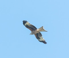 Rainham 21.05.20 Red Kite 2-1