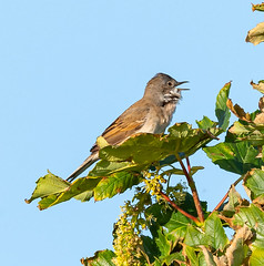Oare 20.05.20 Whitethroat-1