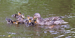 Very young ducklings and mum