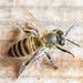 Abelha, Bee, Abeja