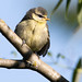 Young Tit