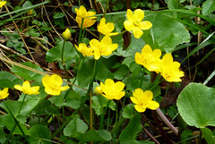 Photo of Kingcups, Wasdale, Cumbria