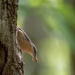 Nuthatch On a tree