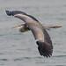 A Grey Heron in Flight - Slow Shutter Speed Shot
