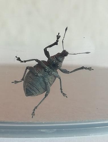 Liophloeus tessulatus (3)