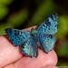 Blue beauty /safira cintilante/  glittering sapphire (Lasaia agesilas)