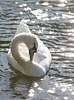 Swan at rest  Stratford-upon-Avon 20-05-20