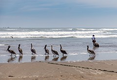 Seven pelicans and a fisherman