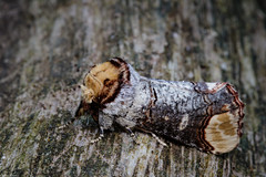 Photo of Buff tip Moth