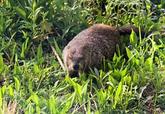 Anglų lietuvių žodynas. Žodis marmota monax reiškia <li>Marmota Monax</li> lietuviškai.