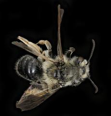 Anglų lietuvių žodynas. Žodis stick insect reiškia klijuoti vabzdžių lietuviškai.