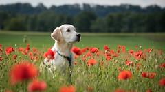 poppy and dog