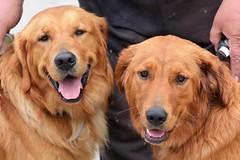 Two Beautiful Golden Retrievers