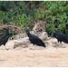 Jaguar (Panthera onca) - Black Vultures (Coragyps atratus) in de Pantanal in Brazilië ...