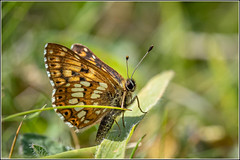 Photo of Duke of Burgundy butterfly (Hamearis lucina)