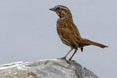20200524 Oak Bay Song Sparrow