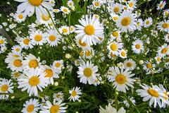 Photo of Oxeye daisies
