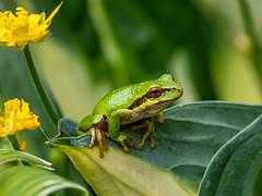 Pacific Tree Frog, Pseudacris regilla