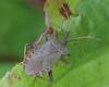 Coreus marginatus (Dock Bug)