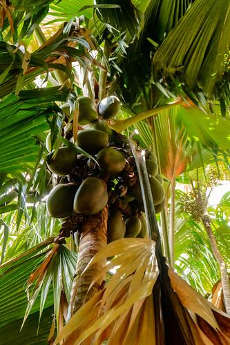 Coco De Mai