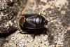 Sehirus luctuosus (Forget-me-not Shieldbug) - Cydnidae - Conington Sidings, Huntingdonshire UK
