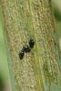 Aphthona nonstriata (Iris Flea Beetle)