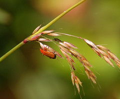 Photo of Beetles on barley