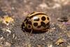 Tytthaspis sedecimpunctata (Sixteen-spot Ladybird) - Coccinellidae - Great Fen, Huntingdonshire UK