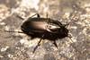Poecilus cupreus (Common Greenclock) - Carabidae - Great Fen, Huntingdonshire UK