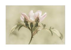 Photo of Wild Rose